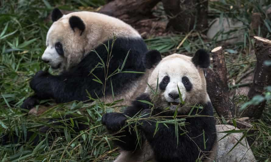 Pandas chew bamboo