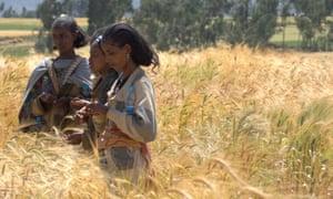 Farmers evaluating traits of wheat varieties in Ethiopia
