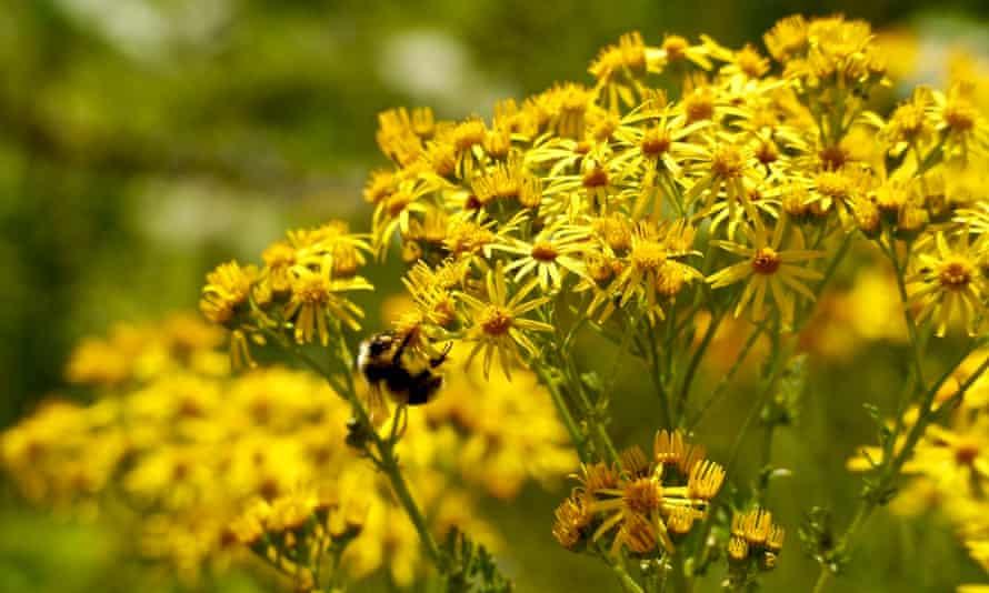Common ragwort and bumblebee.