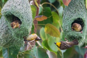 A family of Baya weavers (Ploceus philippinus ) nest in the forest near Kathmandu, Nepal.