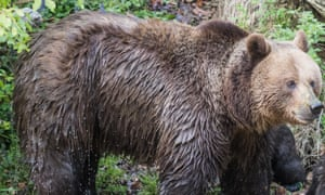 A brown bear of the type seen in the video footage.