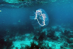 A Jelly fish swims over dead coral on the ocean bed in Strait of Florida near Key Largo