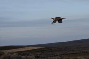 Grand tétras des armoises fuyant le «Lek» au premier signe d'un prédateur pendant la saison des amours dans le ranch Mcstay.