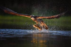 An Osprey catches two Rainbow Trout at Rothiemurchus , Scotland