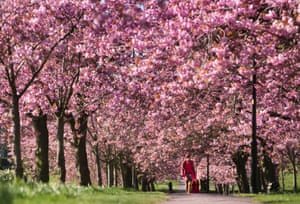 A woman walks along a path lined with cherry blossoms in Harrogate, Yorkshire
