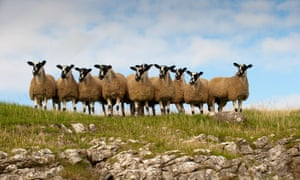 Mule gimmer lambs ready for sale