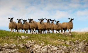 A group of lambs on a rocky outcrop