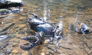 Giant freshwater lobsters