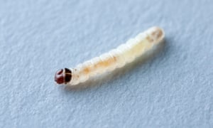 Bugged … a larva of Tineola bisselliella, the common clothes moth, commutes to work.