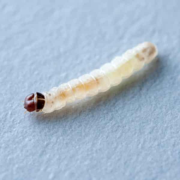 A webbing clothes moth larva