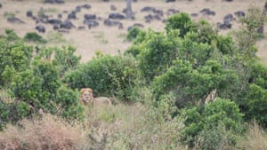 A lion near a herd of buffaloes at the Maasai Mara National Reserve, Kenya. Billed as Africa's greatest wildlife reserve, it offers visitors an opportunity to observe the Africa's 'big five' animals: lions, cheetahs, elephants, buffalo and rhinos.