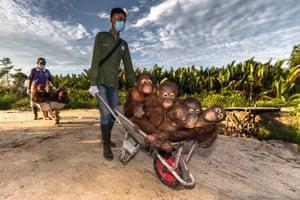 Orang-utans being pushed in wheelbarrows