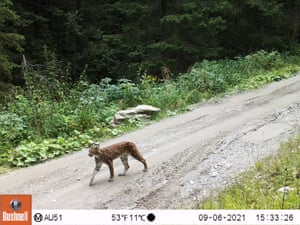 A Eurasian lynx is caught on a camera trap in the Carpathian Mountains, Romania.