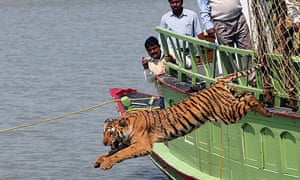 A rescued tiger leaps into a river after being released from a cage in the Sunderbans on the border of India and Bangladesh.