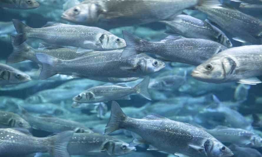 Total allowable catches of sea bass in the Atlantic will be cut from 570 tonnes a year to zero under EU plans.