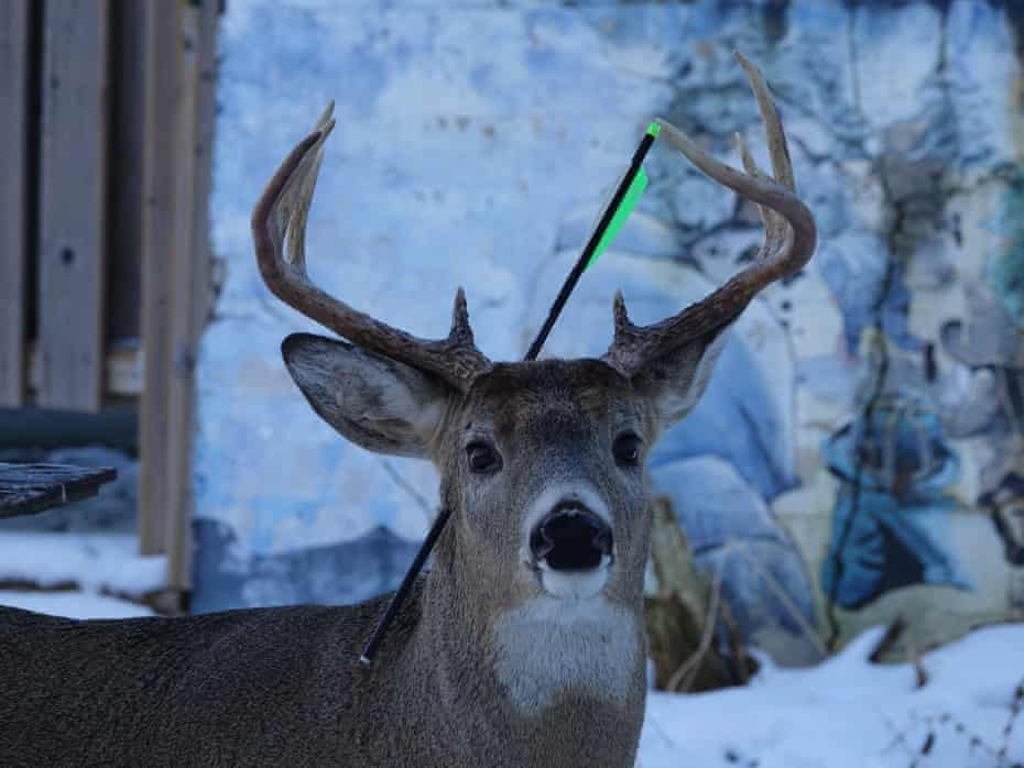 Carrot, a whitetail buck living in northern Ontario, with an arrow sticking out of his head.