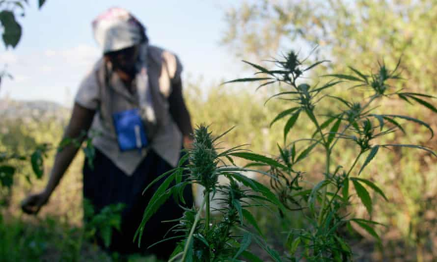 A woman tends her crop of about 30 young marijuana plants in the country's northern Hhohho area.