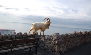 Great Orme Kashmiri Goat walking along wallKashmiri Billy goat (Great Orme, Llandudno), walks along wall on cliff edge of the headland.
