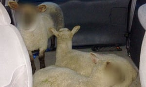 IMAGE PIXELATED AT SOURCE BEST QUALITY AVAILABLE Handout photo issued by West Midlands Police of three lambs, as three men are being questioned on suspicion of theft after police spotted the animals being transported through Hob Moor Road in Yardley, Birmingham in the back of a Ford Galaxy.