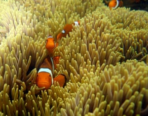 Anemonefish or clown fish, Russell Island, Great Barrier Reef, Queensland, Australia