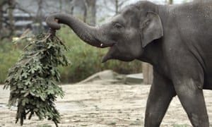 An elephant picking up some greenery