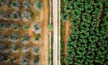 Aerial image of olive groves in Puglia, southern Italy, showing two varieties of olive trees, some infected with Xylella fastidiosa (left) and some resistant to the disease.