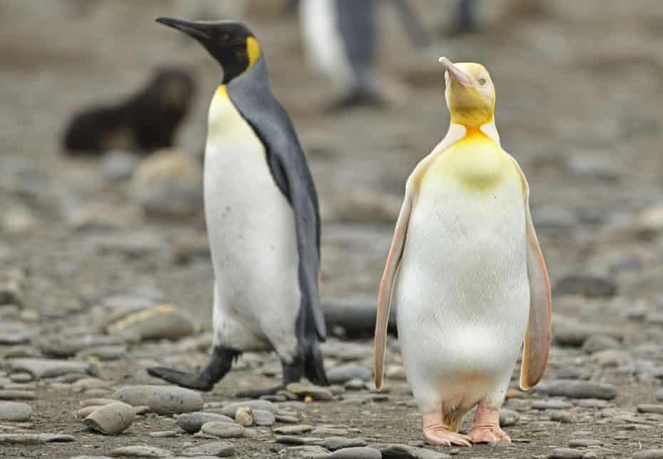 'Beautiful bird': the cause of the yellow penguin's unusual colouring could hamper its chances of survival, research scientist Andre Chiaradia says.