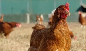 Hen Nation chickens