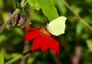 A brimstone butterfly enjoys a beautiful red flower on the bank of the river Thames, Pangbourne, Berkshire, UK