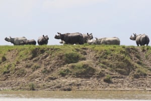 One-horned rhinos stand on ground above floodwaters inside the Kaziranga national park in Assam, India