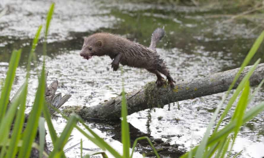 The American mink is regarded as one of Europe's most destructive predatory imports