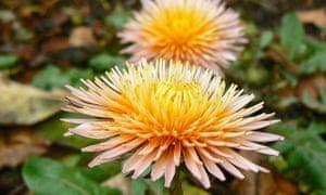 Dandelion flowers (Taraxacum pseudoroseum)