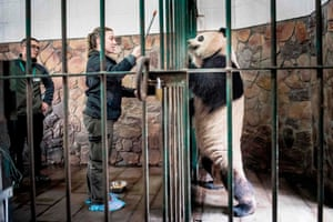 Chengdu, China Danish zookeeper Pernille Goerup Andersen interacts with panda Xing Er at the Chengdu Research Base of Giant Panda Breeding. Xing Er is one of two pandas travelling to Copenhagen, Denmark, later this week