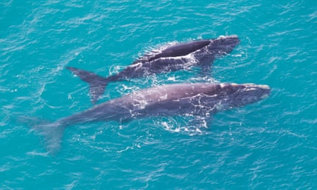 Two rare grey southern right whales