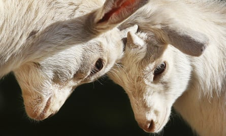Two young goats fighting in a zoo enclosure