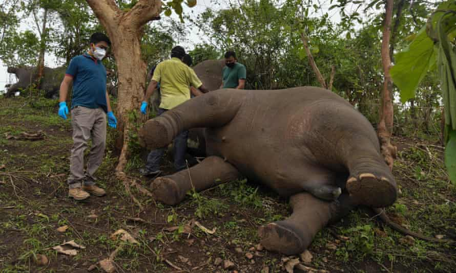 A veterinary team check the bodies of the elephants found in Nagaon district, Assam state