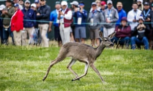 California, USA. A deer runs along the sixth hole during the third round of the 119th US Open Championship at Pebble Beach.