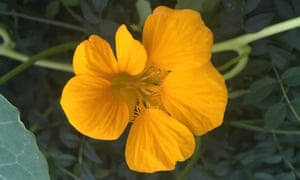'They say something about me I can't quite articulate': nasturtiums.