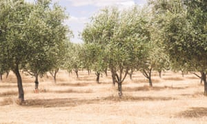 An olive grove in Western Australia on a dry summer's day.