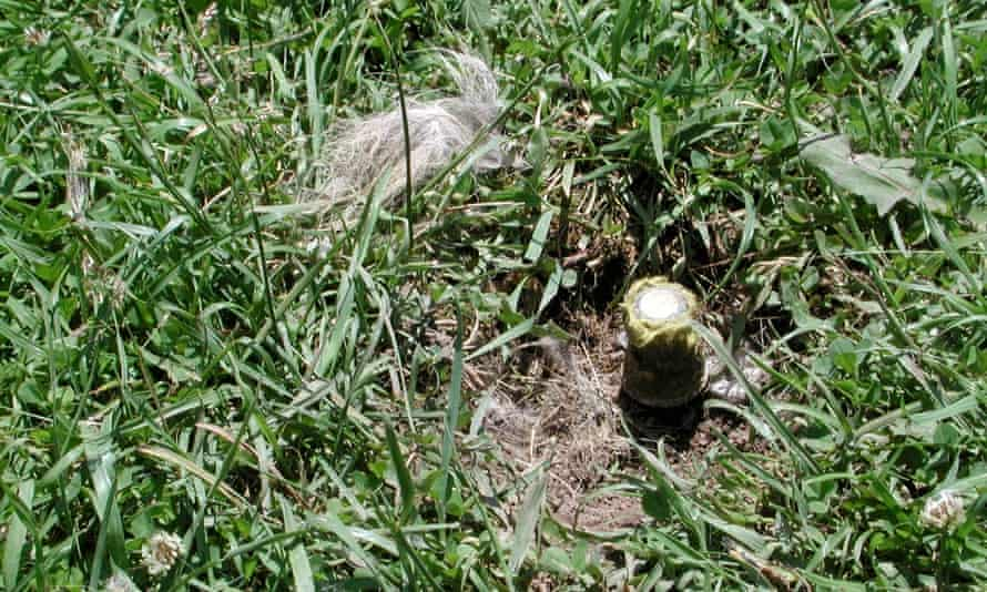 An M-44 cyanide trap, chewed and with fur nearby.