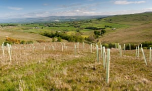 Trees planted on a Cumbrian upland moor to improve wildlife habitat and flood protection.