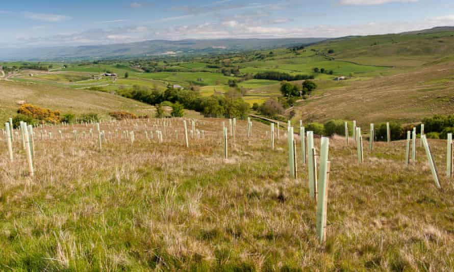 Trees planted on upland moor to improve wildlife habitat in Cumbria, UK.