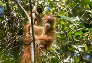 A Tapanuli orangutan, a new species of great ape discovered by scientists studying a small population of orangutans in northern Sumatra