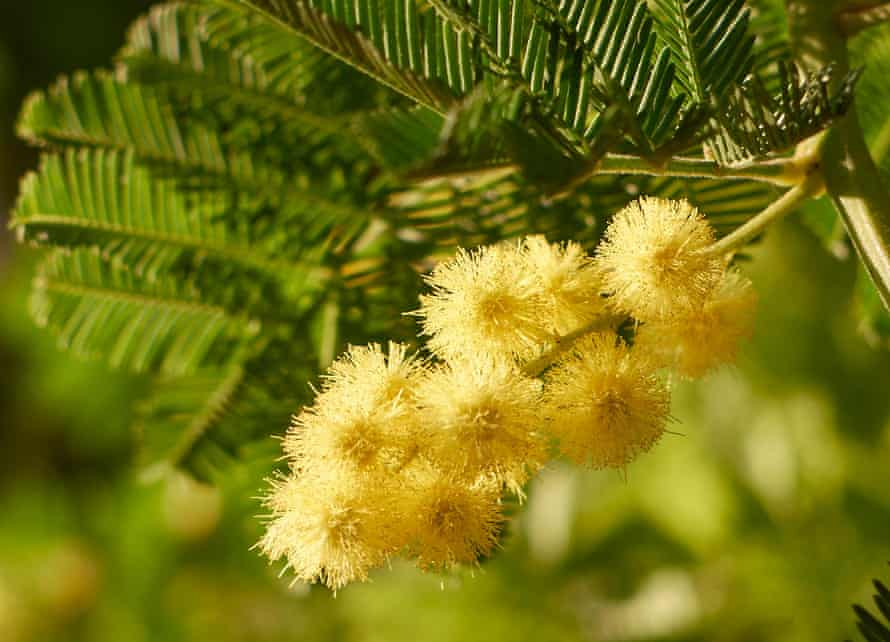 Hello, yellow: Mimosa (Acacia dealbata) greets grey days with scented fuzzy baubles.