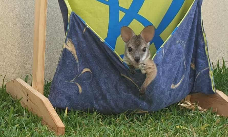 A kangaroo in a homemade pouch during the Australia fires.