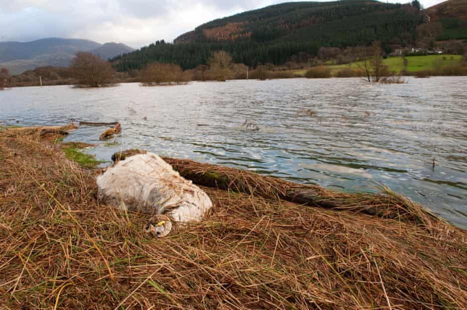 A dead sheep near floodwater in Cumbria, November 2009.