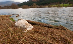 Dead sheep at waters edge after severe flooding in West Cumbria, November 2009. Image shot 11/2009. Exact date unknown.<br>BFX2F4 Dead sheep at waters edge after severe flooding in West Cumbria, November 2009. Image shot 11/2009. Exact date unknown.