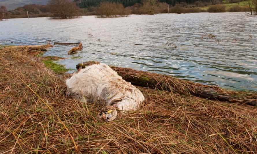 گوسفندان مرده در حاشیه آب پس از طغیان شدید در غرب کامبریا.