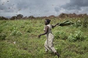 A large swarm of desert locusts