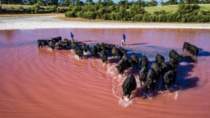 Keringa Angus Bulls crossing a salt lake at Tintinara, South Australia.